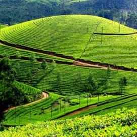 Trek Ilam plantations de thé